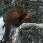 Pine Marten by Elmer Paetow, 1st f5.6 Color