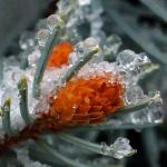 Ice Bud by Susan Haffke, f5.6 Digital, Score: 9