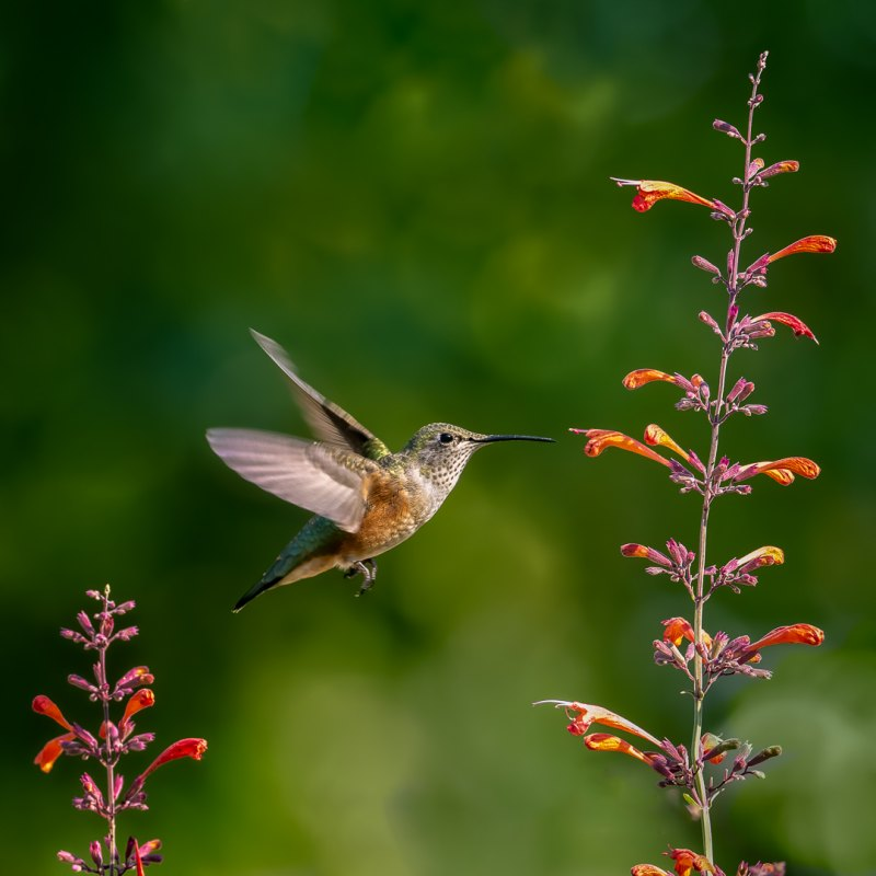 Backyard Hummingbird by Dan Greenberg, f16 Color Digital, Score: 9