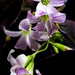 Shamrocks by Leander Urmey, f11 Digital, Score - 9