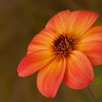 Striated Dahlia by Nancy Myer, f16 Digital, Score - 10