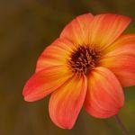 Striated Dahlia by Nancy Myer, f16 Digital, Score - 10