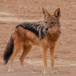 Curious Jackal – Namibia by Nancy Myer, f16 Digital, Score: 10
