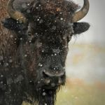 Bison in Snow by Elmer Paetow, f11 Digital, Score: 10