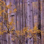 Aspen Over Kebler Pass by Gwen Paton, f11 Digital, Score: 9