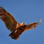 Pel's Fishing Owl by Oz Pfenninger, f16 Color Digital, Score: 9