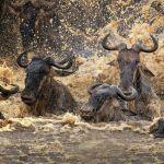 Crossing the Mara River by Butch Mazzuca, f16 Color Digital, Score: 10