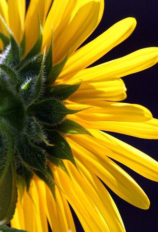 Sunflower by Ernie Kuemmerer, f8 Color Digital, Score: 9