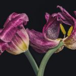 Fading Tulips, 2021 by Philip Rodgers, f8 Color Digital, Score: 10