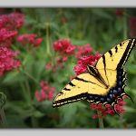 Summer Swallowtail by John Grevillius, f11 Digital, Score: 10