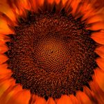 A Sunflower's Fibonacci Sequence by Larry Hartlaub, f5.6 Digital, Score: 10