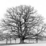 300 Year Old Oak Tree by Ernie Kuemmerer, f5.6 Digital, Score: 9