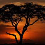 African Acacia by Oz Pfenninger, f16 Digital, Score: 10