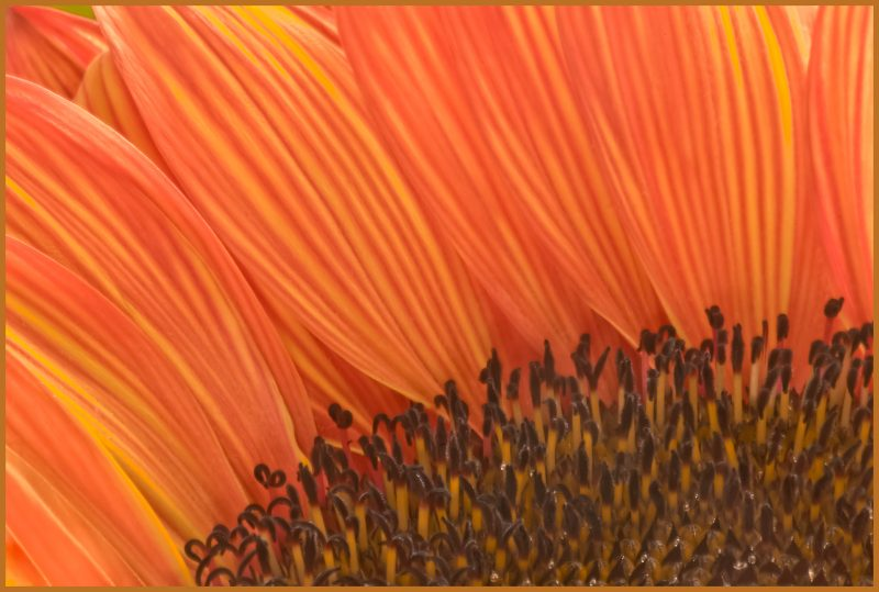 Flamboyant Sunflower by Nancy Myer, f16 Digital, Score: 10