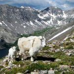 Mt Quandary Mountain Goats by Carl Paulson, f8 Digital, Score: 9