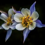 Rocky Mountain Columbine by Dick York, f16 Digital, Score: 9