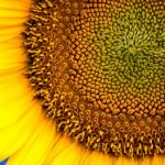 Kansas Sunflower by Clint Dunham, f8 Digital, Score: 9